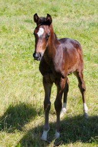 Horse For Sale Colt by Casanova 03 | John Biggs Dressage
